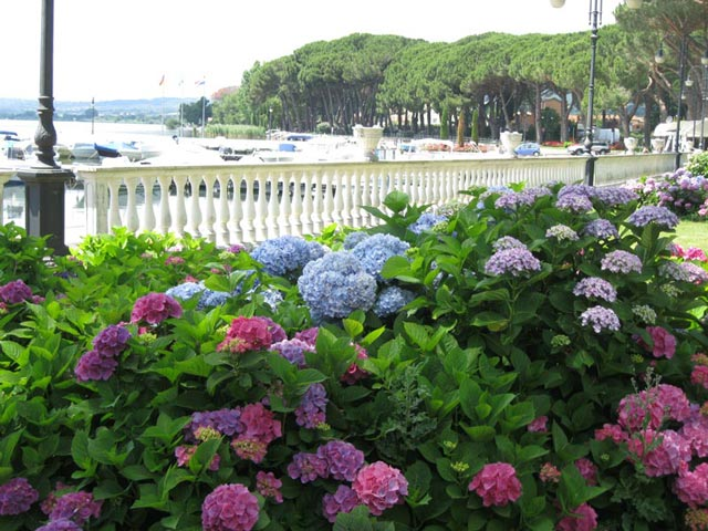 hydrangeas-along-lakefront-with-boats
