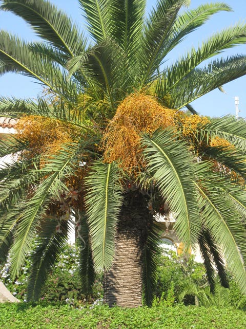 date-palm-of-ustica