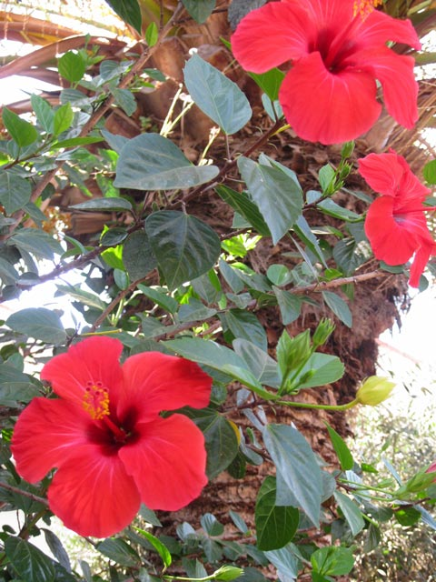 flaming-reds-of-the-island-hibiscus-bushes