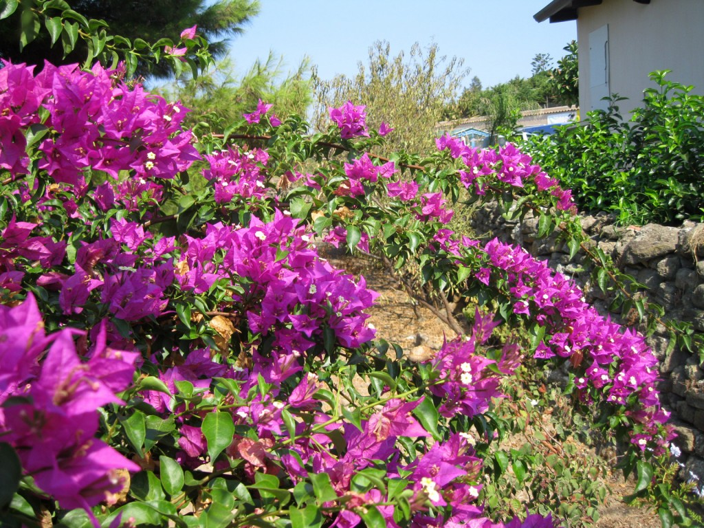 Fuchsia bougainvillea drape the Ustica walls