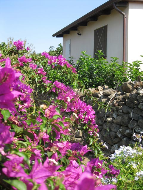 fuchsia-bougainvillea-drape-the-volcanic-rock-walls-of-ustica