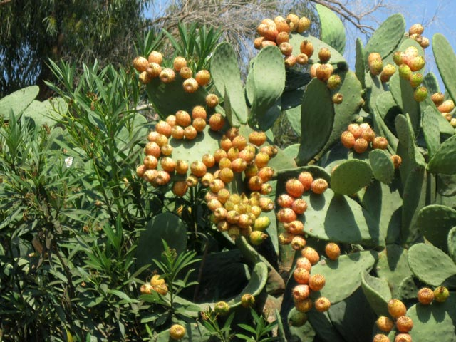 orange-and-yellow-prickly-pears-festoon-the-island-cliffs
