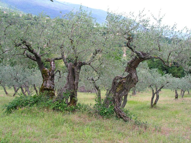 olive-groves-by-janet-eidem_1