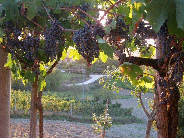 Last-bunches-of-purple-grapes-soon-to-be-picked