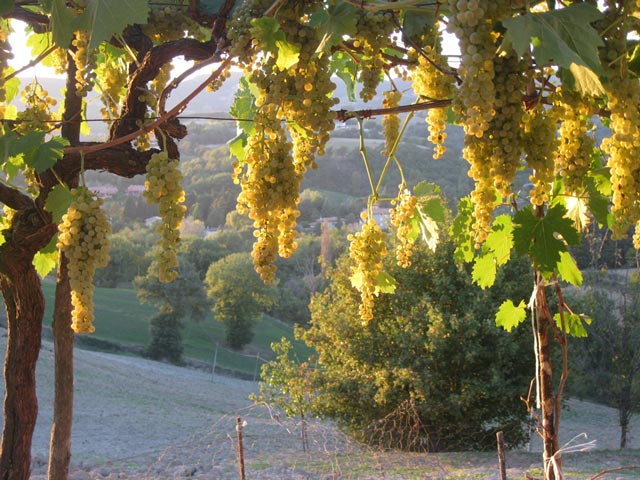 Last-white-grapes-still-to-be-picked