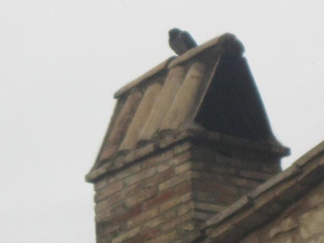 Pigeons-often-huddle-on-chimneys-enjoying-the-warmth