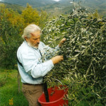 Olive picking, then and now