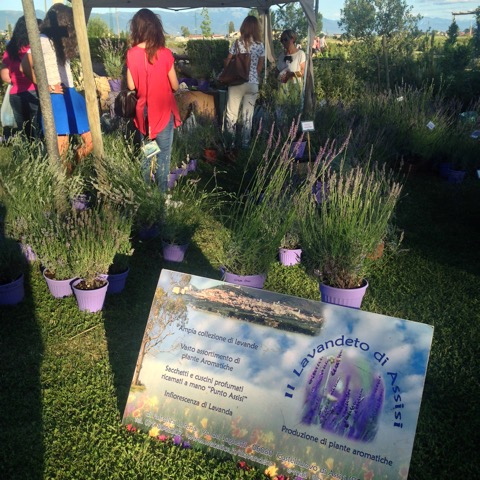 Lavender plants and herbs of every imaginable variety on sale at this festa