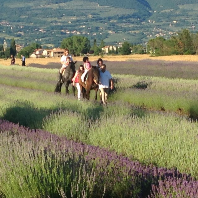 Some visitors ride horses through the lavender fields