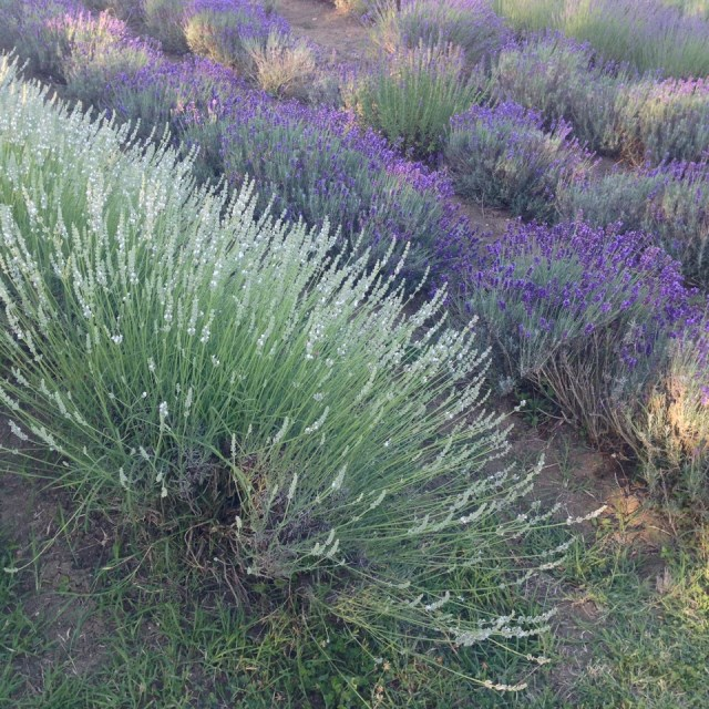 Over forty varieties of lavender