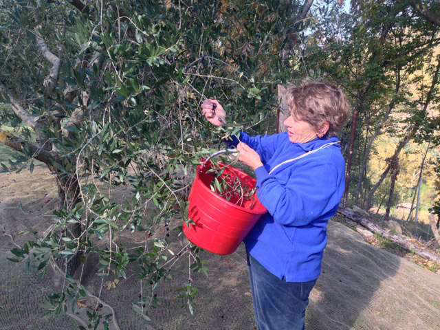 Stripping the olives off the branches and into the bucket is the traditional way to pick…