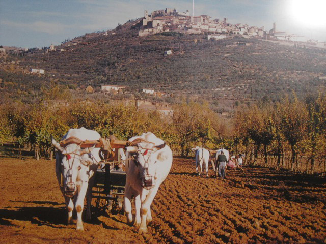 Peppe and Mandina worked their land with oxen- as did many in the late 70's