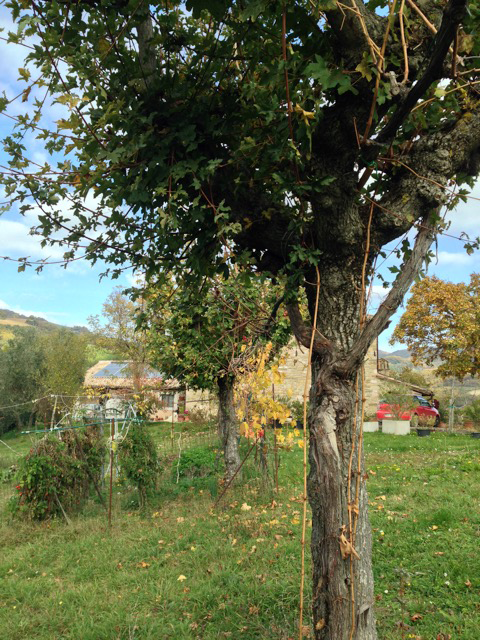 "Giannetto planted maples to guide the grapevines - each one, ""la madre dell'uva"""