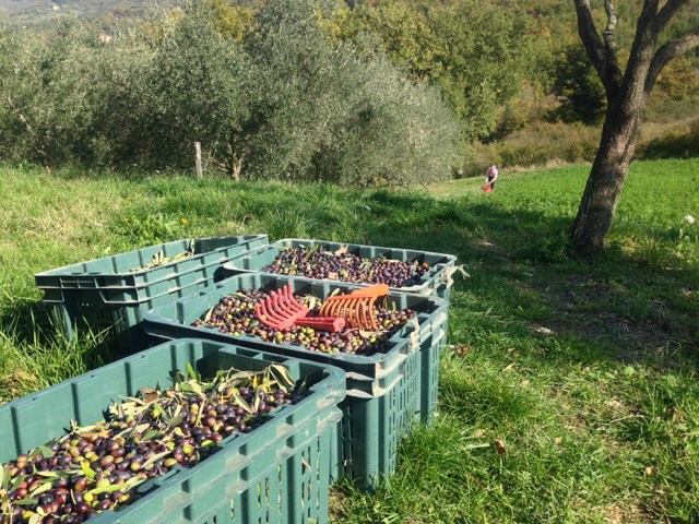 All picked and ready for the mill - and pressing into olio d'oliva
