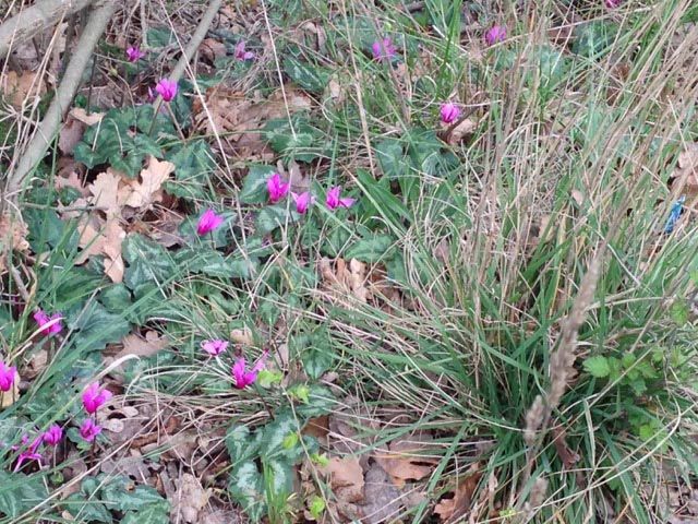 Wild cyclamens add fuchsia color splashes to the woods where wild asparagus sprout