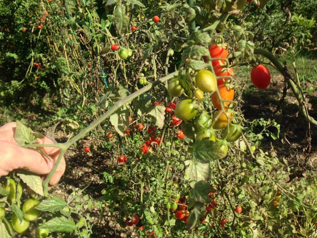 our-green-tomatoes