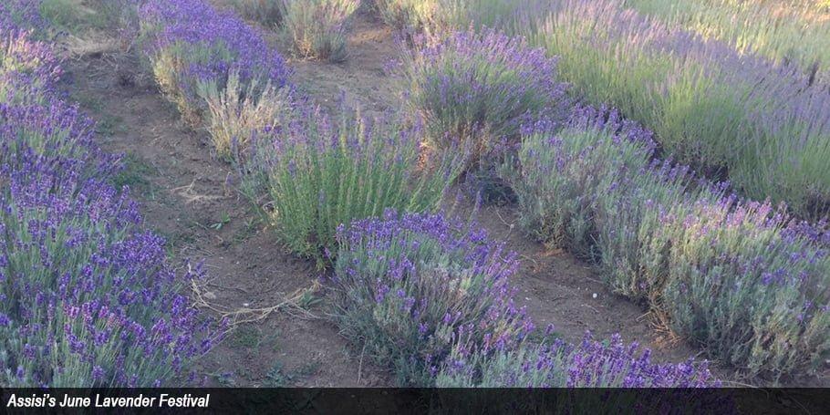 Assisi's June Lavender Festival